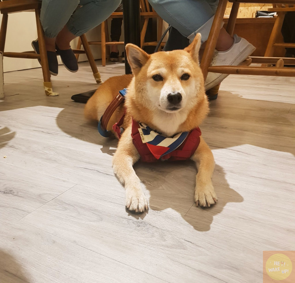 寵物友善餐廳-柴犬